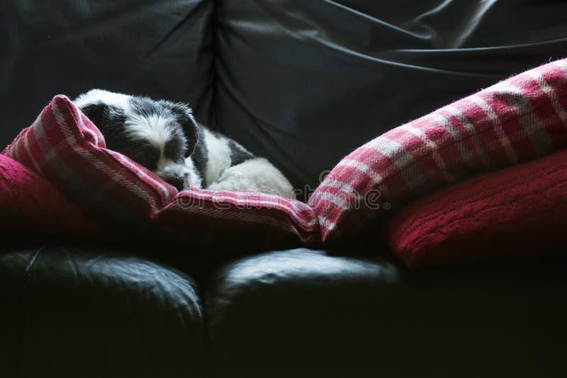 Выследите спать на settee, милой прелестной Лхасе Apso стоковое изображение