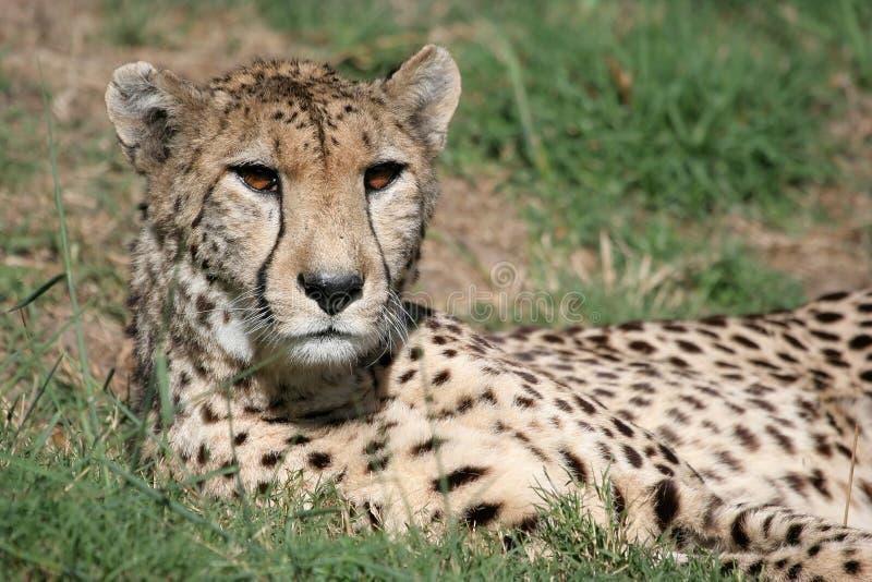 вытаращиться гепарда стоковые изображения rf