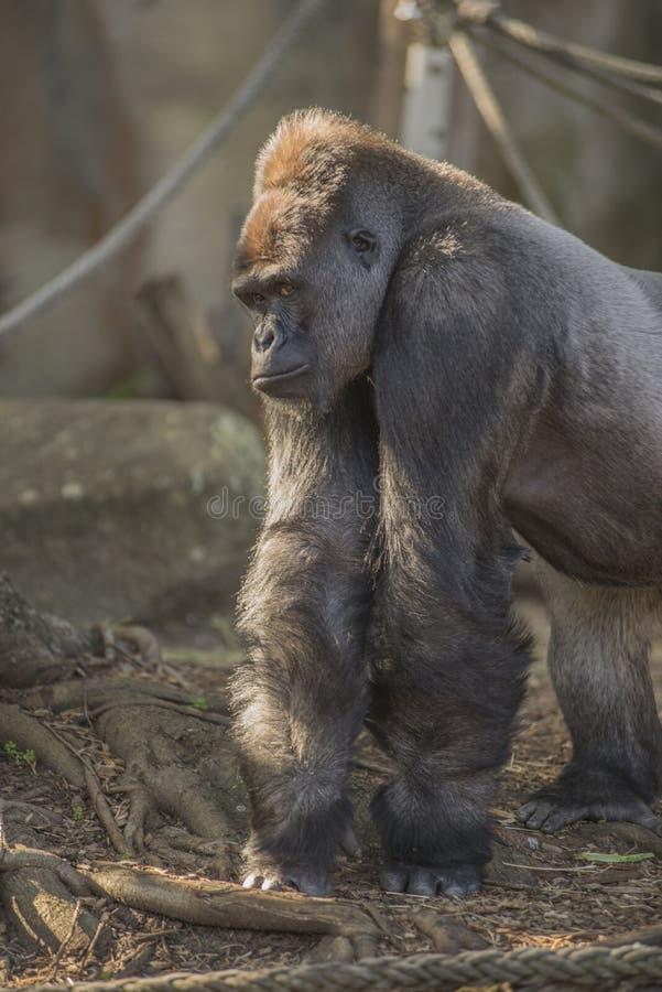 Вытаращиться гориллы стоковое изображение rf
