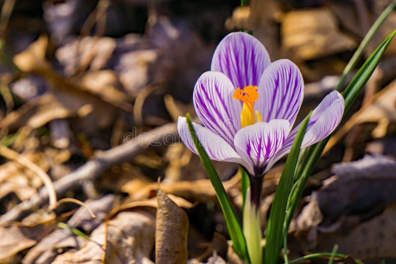 Вытекая Wildflower крокуса - первые цветки весны стоковые изображения rf