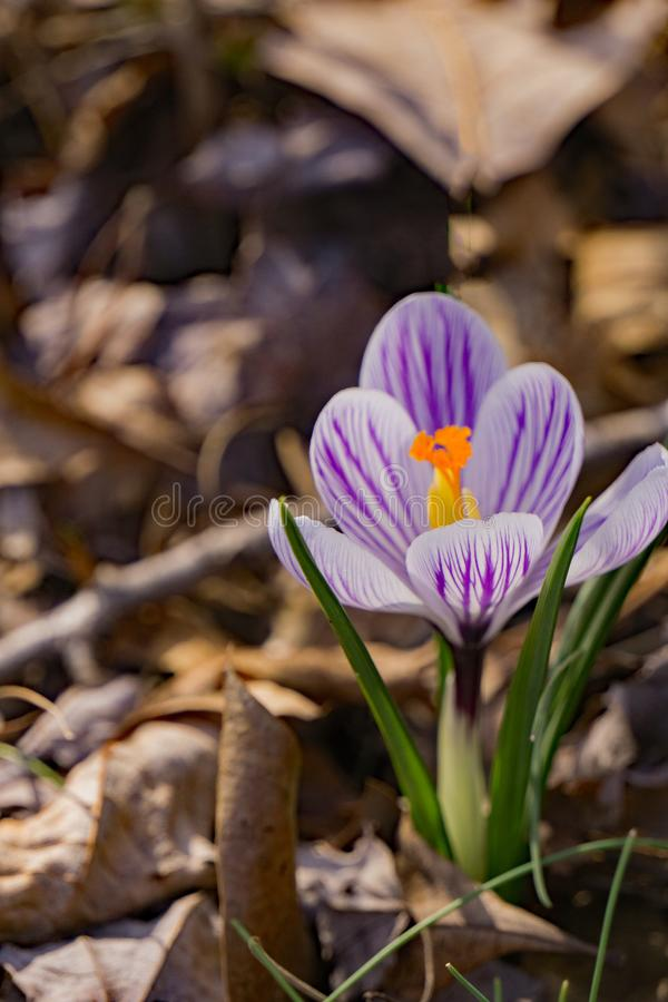 Вытекая Wildflower крокуса - первые цветки весны стоковое фото rf