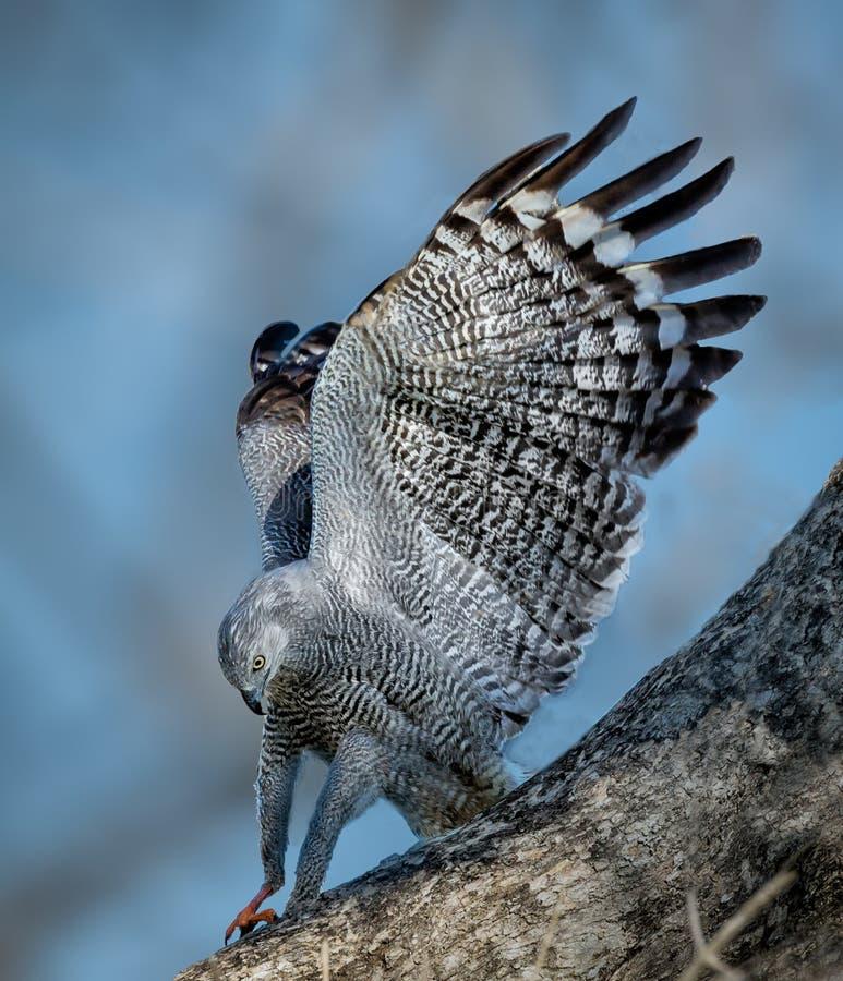 Вытягивайте шею земли хоука на ветви в Pantanal, Бразилии стоковое изображение