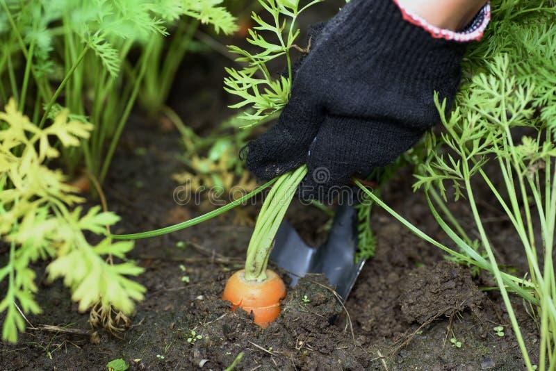 Вытягивающ морковей от земли вручную, селективный фокус стоковое изображение