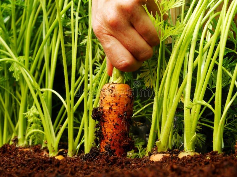 Вытягивающ морковь вне стоковые фото