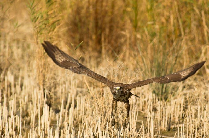 выходить точек соприкосновения buzzard стоковые изображения rf