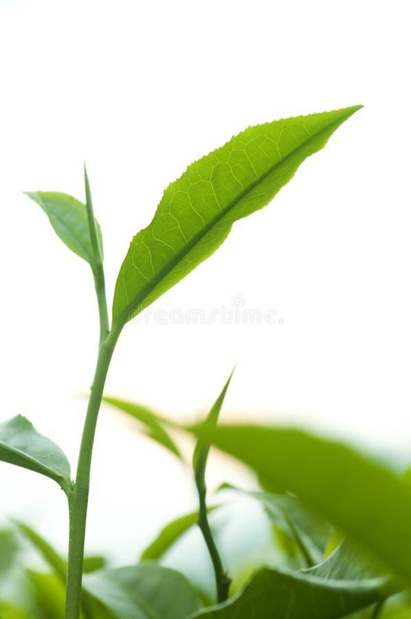 выходит чай стоковая фотография rf