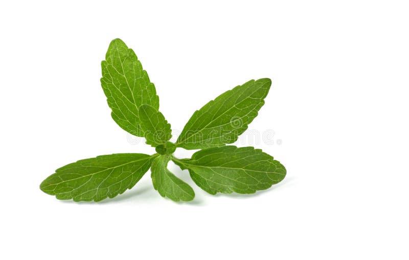 выходит stevia стоковая фотография rf