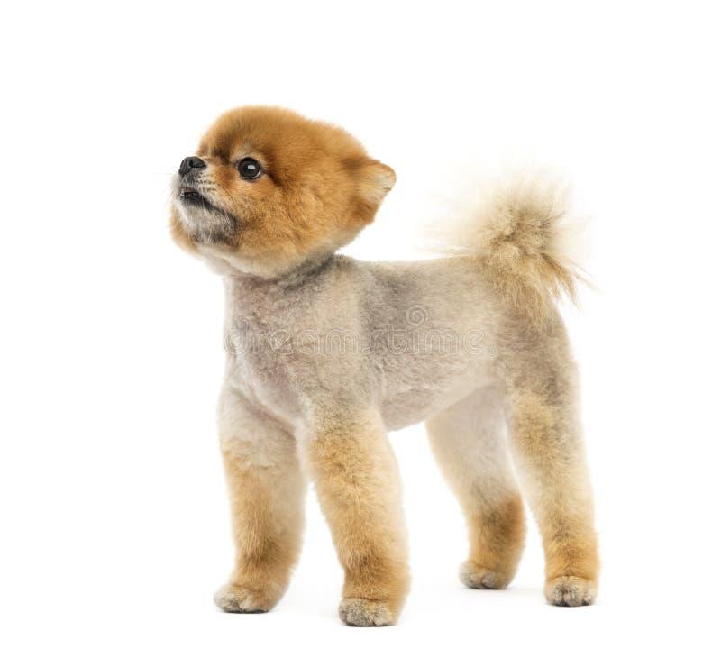 Выхоленная собака Pomeranian стоя и смотря вверх стоковое изображение rf
