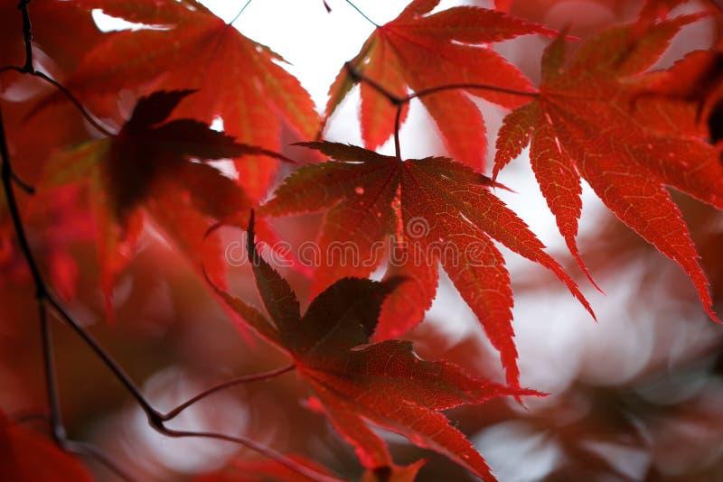 выходит красный цвет клена стоковое фото rf