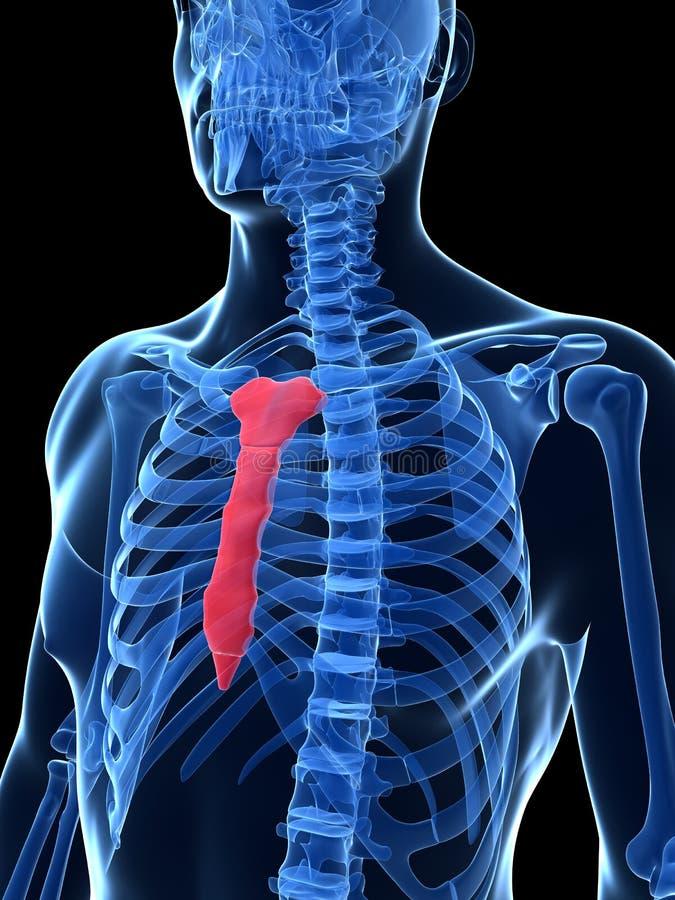 Выделенная косточка груди бесплатная иллюстрация