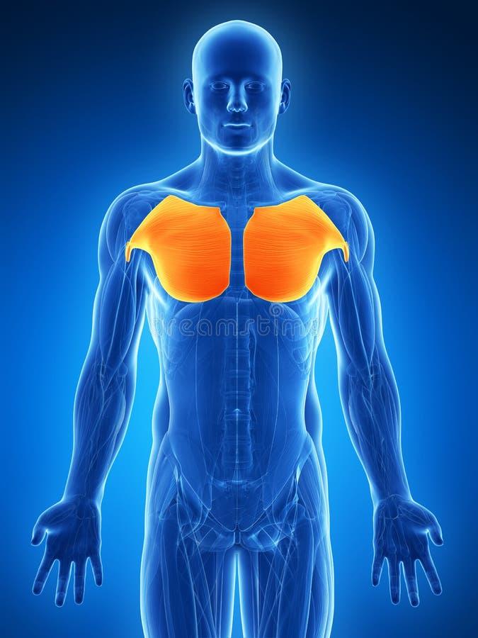 Выделенная мышца груди бесплатная иллюстрация