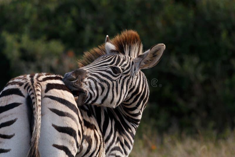 Вылижите мои нашивки - зебру Burchell стоковое изображение