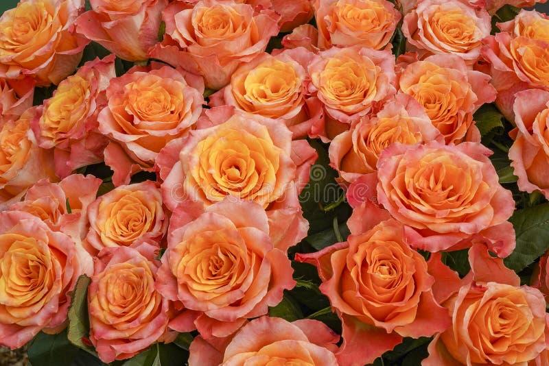 Вы можете почти запахнуть отравляя запахом этих великолепных желт-розовых роз стоковые изображения rf