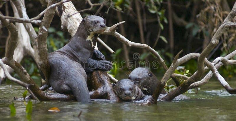 Выдры. Pantanal. Бразилия. стоковые изображения