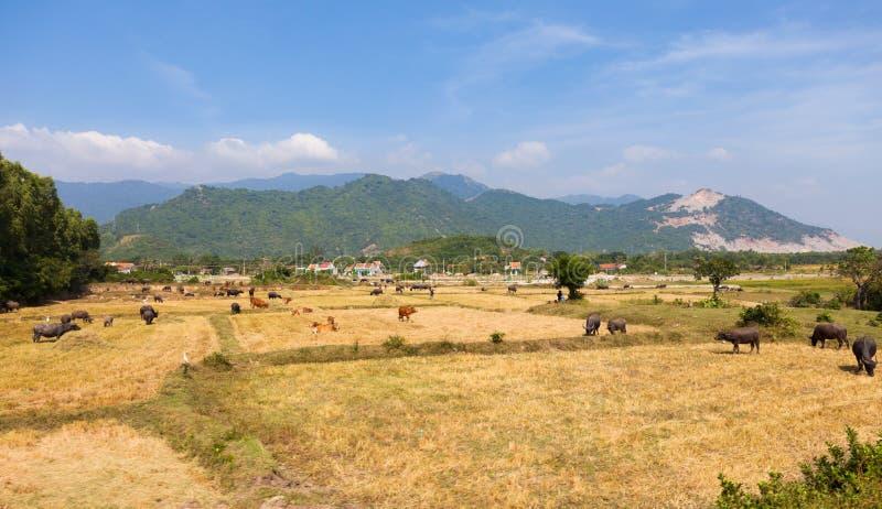 Вьетнам, ландшафт с коровами и быками стоковые фото