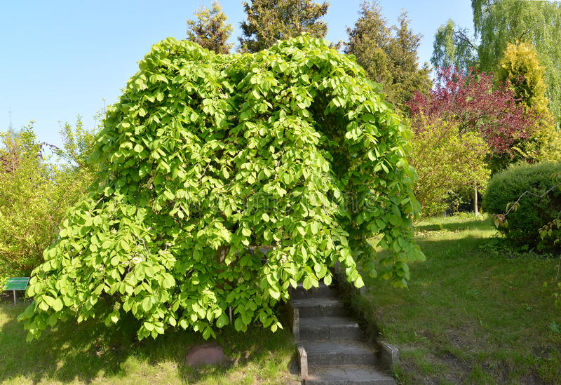 Вяз груб, форма plakuchy (glabra Huds Ulmus , var pendula стоковое фото rf