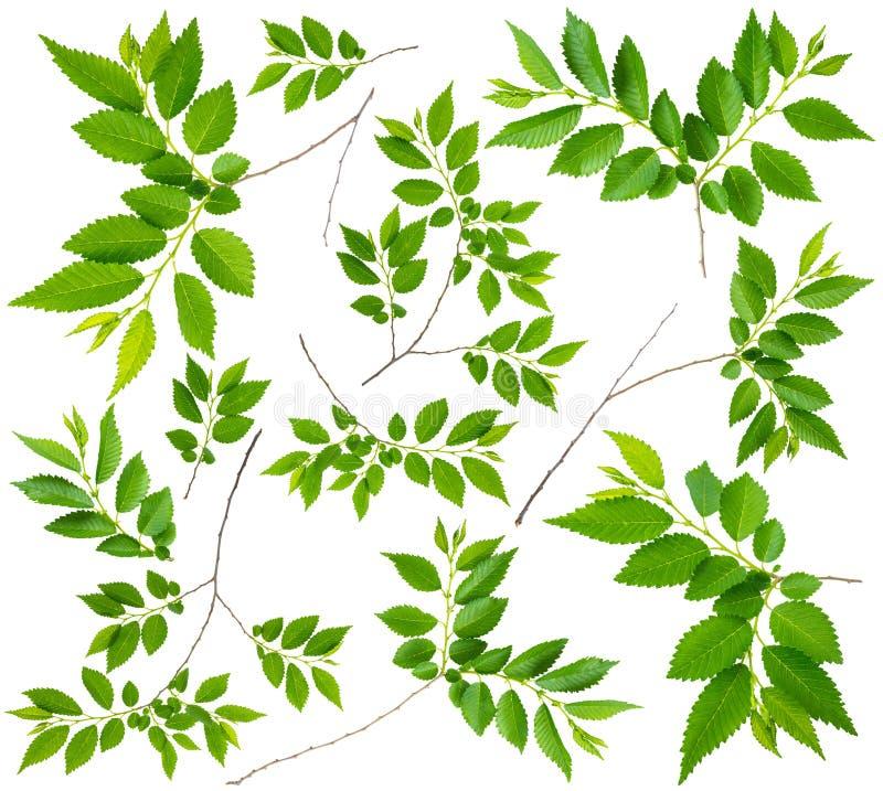 Вяз хворостины весны при изолированные листья зеленого цвета стоковые фотографии rf