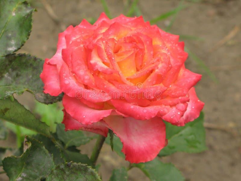 Влажная розовая и желтая роза стоковое изображение rf