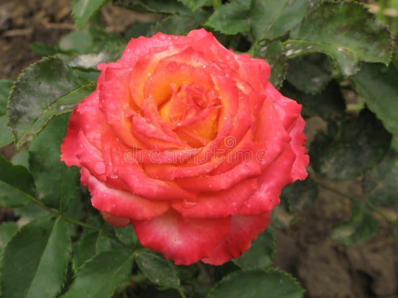 Влажная розовая и желтая роза стоковое фото rf