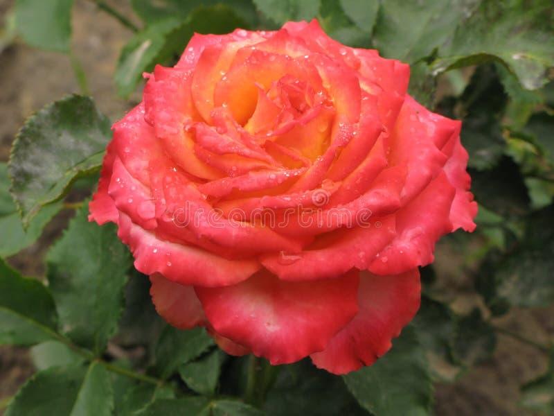 Влажная розовая и желтая роза стоковые фотографии rf