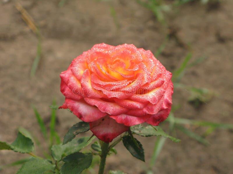 Влажная розов-желтая роза стоковая фотография