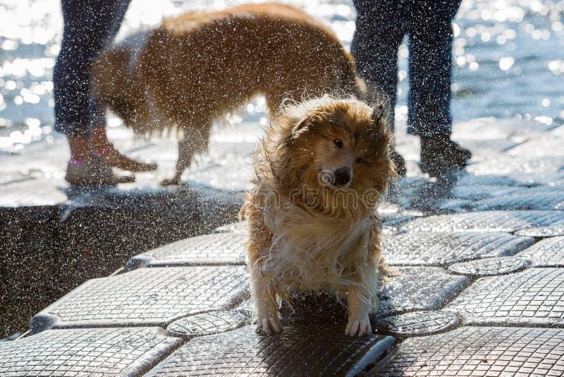 Влажная собака тряся голову стоковое изображение