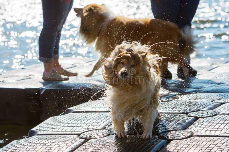 Влажная собака тряся голову стоковая фотография
