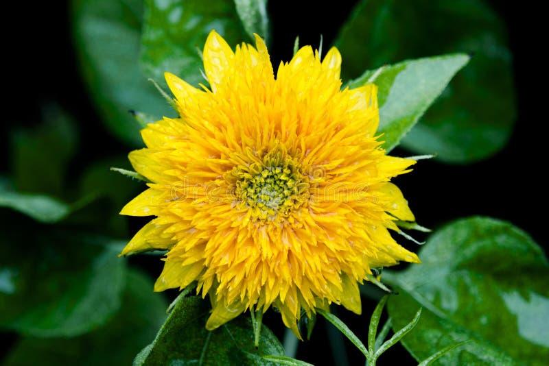 Влажный конец солнцецвета желтого карлика вверх стоковая фотография