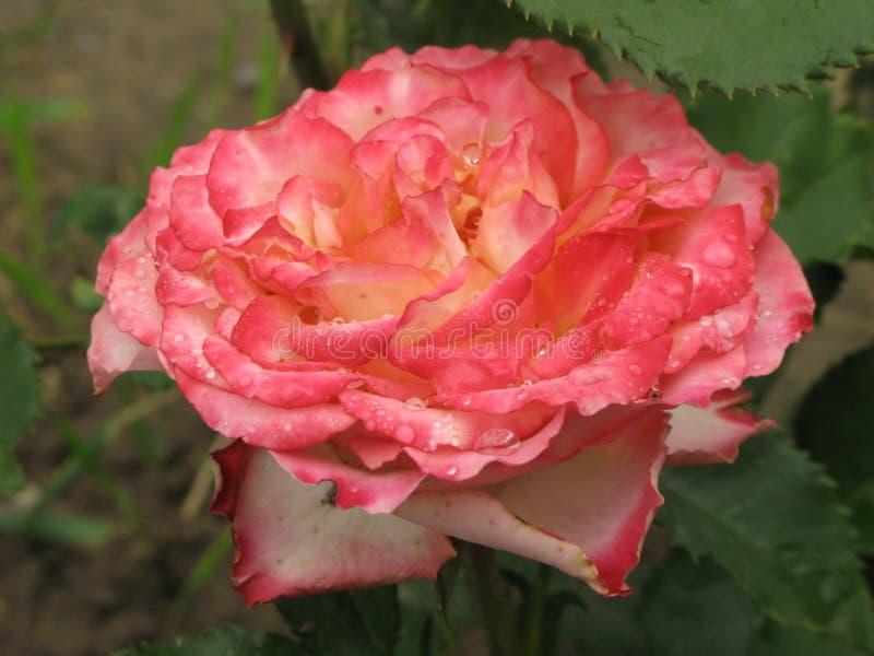 Влажный пинк и белая роза стоковые фотографии rf