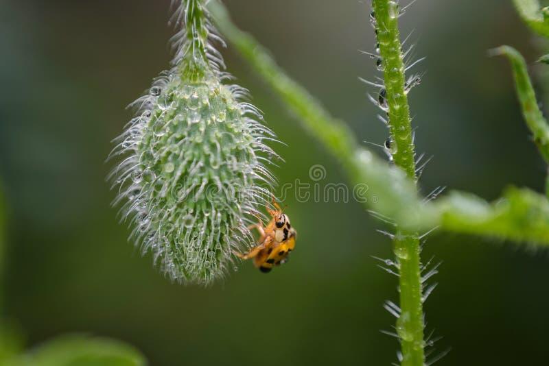 Влажный Ladybug на паре мака на саде стоковая фотография