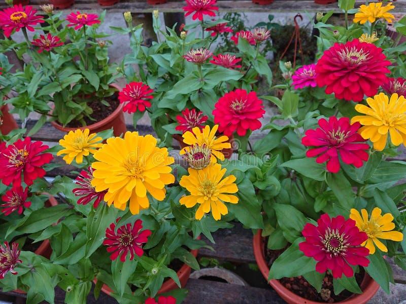 В горшке заводы с желтым и красным цветком стоковое изображение