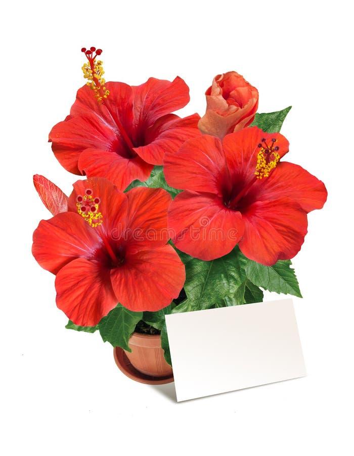 В горшке красный гибискус цветет с blanc для поздравлений стоковая фотография