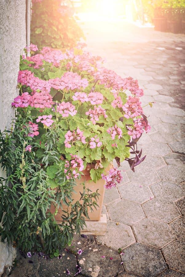 В горшке розовые цветки стоковые фото