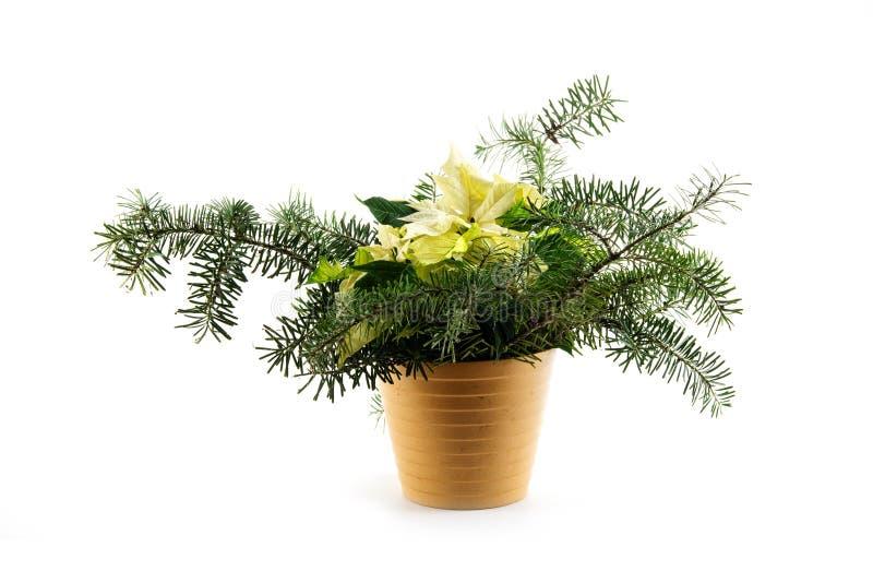 В горшке pulcherrima молочая poinsettia рождества, символическое стоковое изображение