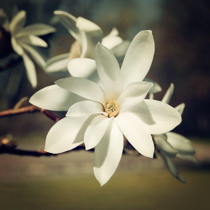 Влияние года сбора винограда цветка магнолии Фото красивого сметанообразного цветения ретро стоковое изображение rf