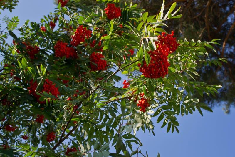 В конце лета - красные ashberries готовы стоковые изображения