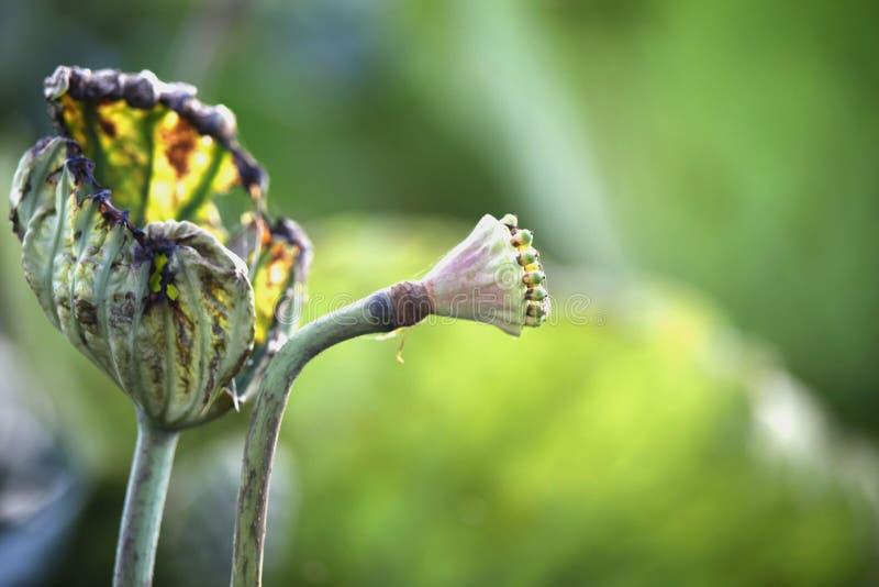 В конце цветка лотоса стоковые изображения