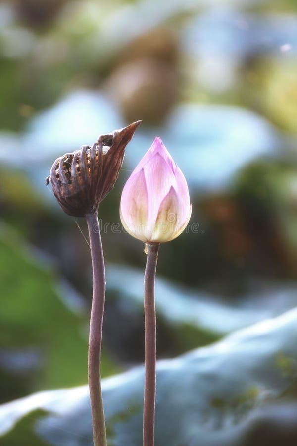 В конце цветка лотоса стоковая фотография