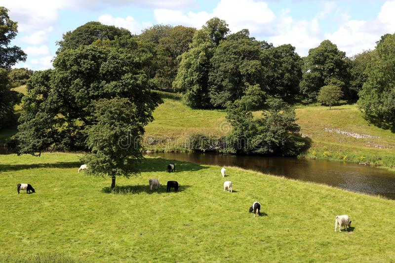 В красивой английской сельской местности пастуют коры стоковые изображения