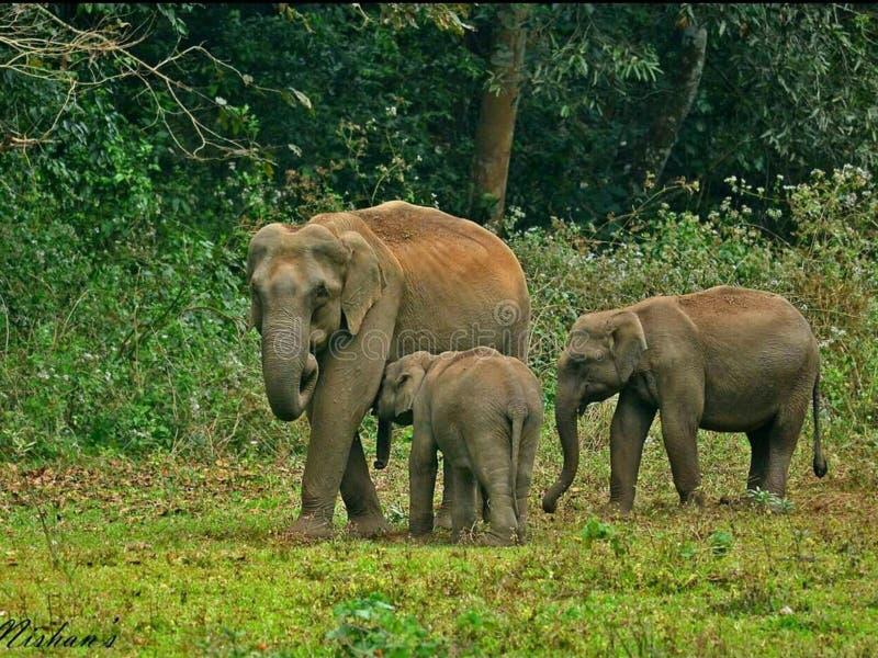 В лесе Кералы слоны пришли вне данный достаточное время для туристского туриста стоковые изображения rf