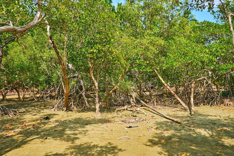 В лесе мангровы, Ngwesaung, Мьянма стоковое фото