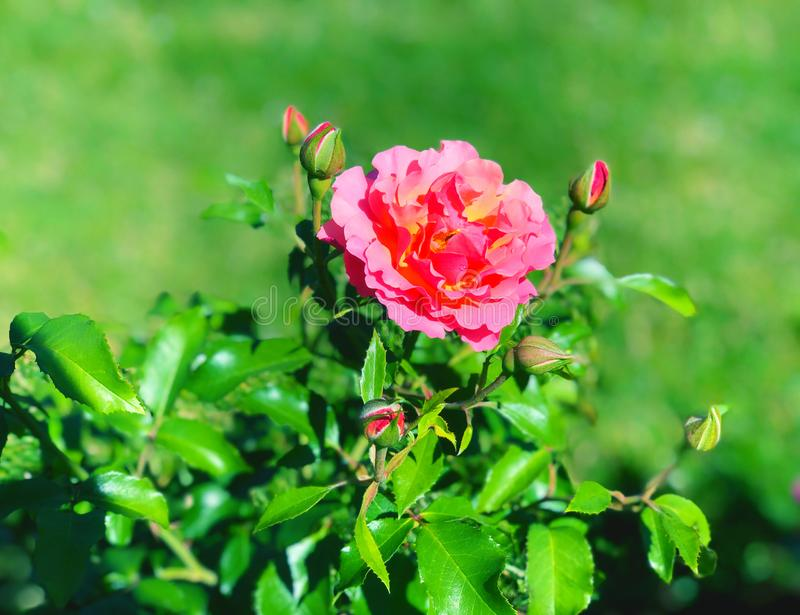 В парке Элизабет Парк разцветает один розовый цветок стоковые изображения