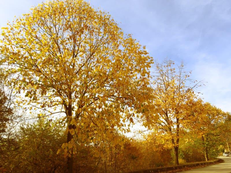В парке ярко-желтая осень Цветные деревья на улице против голубого неба стоковая фотография