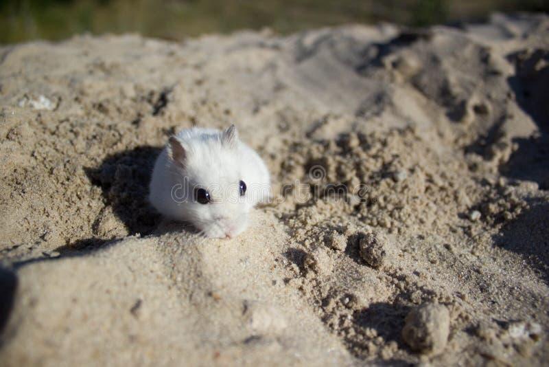 В природе, мышь dzhungar хомяк стоковая фотография
