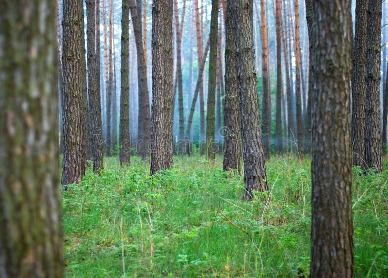 В сосновом лесе среди растительности стоковые изображения