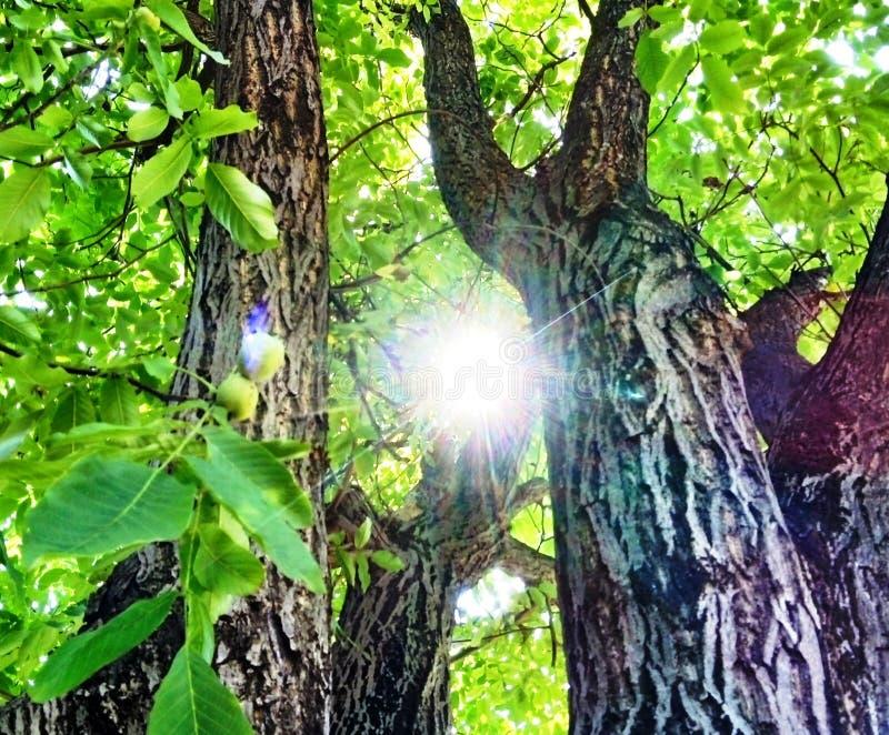 В тени могущественного старого дерева грецкого ореха стоковые изображения rf