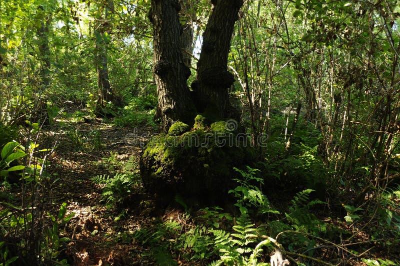 В фантастичном лесе реликвии стоковая фотография rf