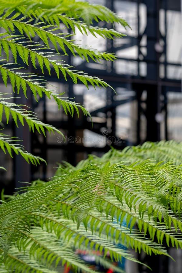 В фокусе на переднем плане, зеленые папоротники в саде на саде крыши моста карамболя В мягком фокусе на заднем плане, спиральные  стоковое фото