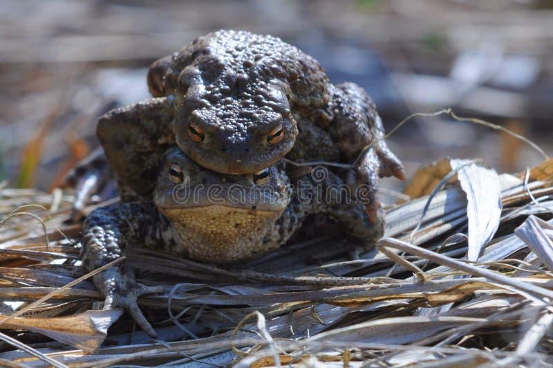 Влюбленность лягушки стоковая фотография