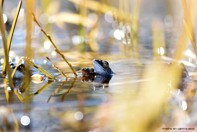 Влюбленность лягушки стоковые фото
